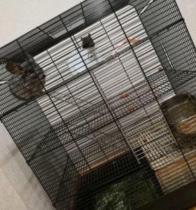 Шиншилла с другом крысенком