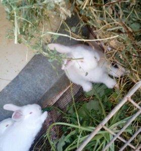 Кролики новозеланские