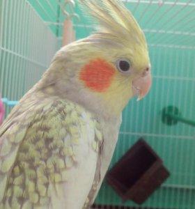 Продам попугая(мальчик),корелла+клетка