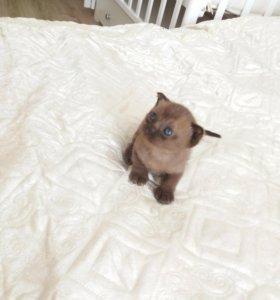 Бурманский котенок мальчик