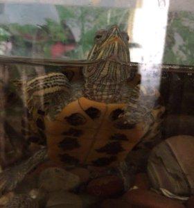 2 красноухие черепашки и аквариум