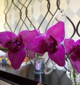 Орхидея пилорик
