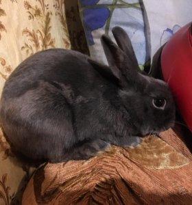 Британский-миниатюрный кролик. (Карликовый заяц)