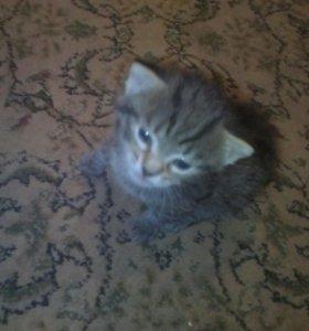 Котенок от бенгальского кота в добрые руки