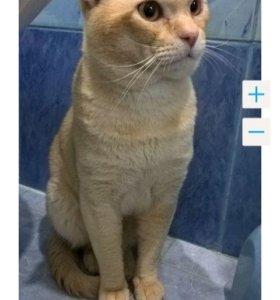 Бурманский кот вязка