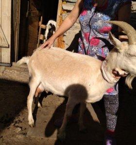 дойные козы и молодняк