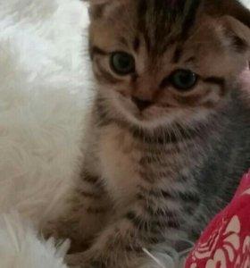 Шотланский котенок.