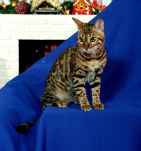 Бенгальский кот. Вязка.