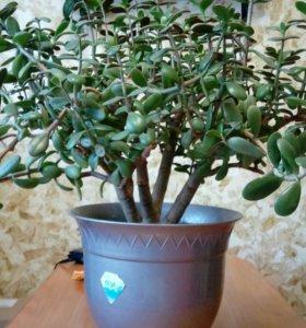 Толстянка ( денежное дерево)