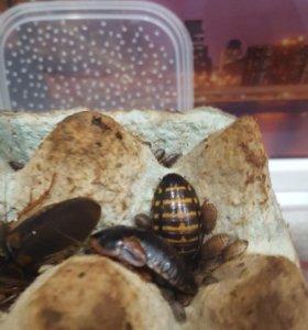 Аргентинские тараканы (блактипа дубия)