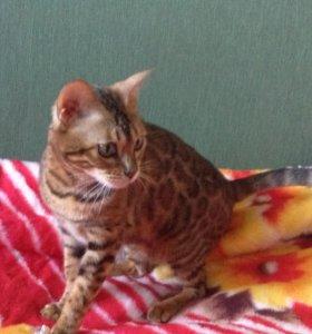 Вязка с бенгальской кошкой
