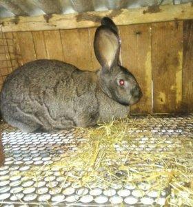 Ищу постояного клиента на покупку мяса кролика