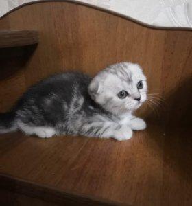 Шотландские мраморные на серебре котята