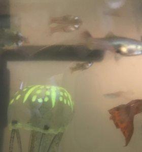 Рыбы гуппи