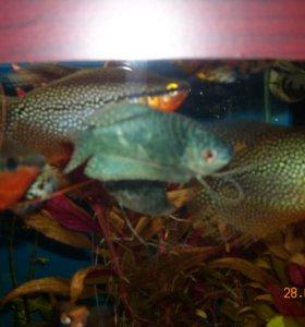 Продам аквариумных рыбок