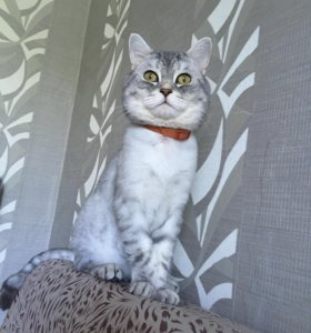 Вязка кот шотландский окрас вискас