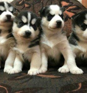 ПРОДАЖА щенки сибирской  ХАСКИ