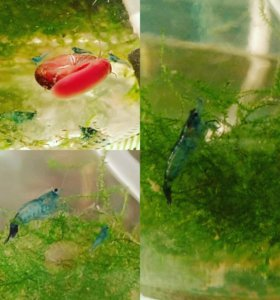 Креветки 'синяя мечта'