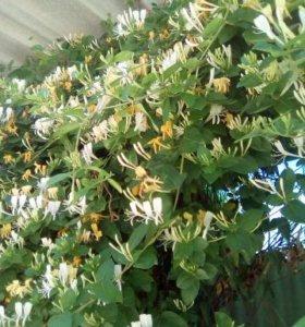саженцы-отводки жимолости  шиповника и жасмина