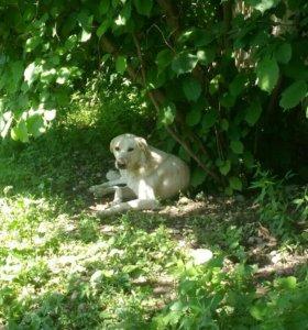 Молодые собаки помесь лабрадора с немецкой овчарк