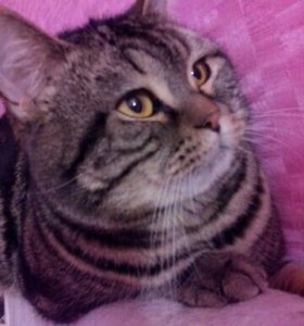 Вязка  с красивым шотландским  котом