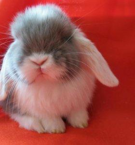 Карликовый кролик вислоухий из питомника