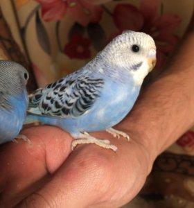 Продам попугайчиков(волнистыми)