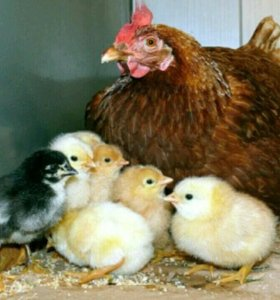 Квочка (наседка) с цыплятками.