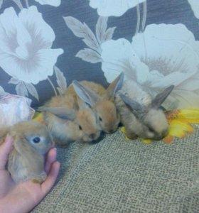 Крольчата вислоухие барашки