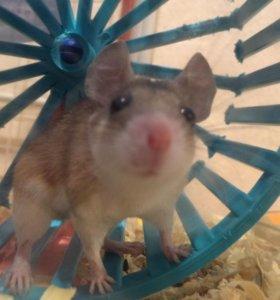Акомис (иглистая мышь)