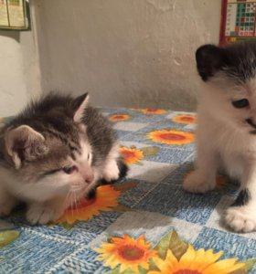 Котята ,две девочки.