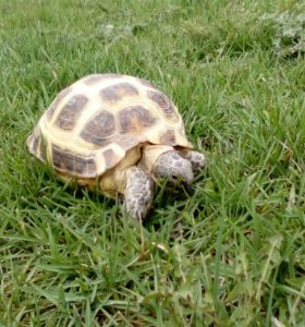 Скрещу самку среднеазиатской черепахи с самцом
