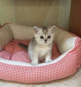 Шатладский котёнок страйт