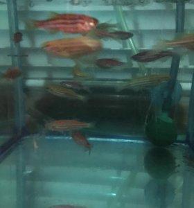 Аквариумные рыбки данио коридорасы гуппи