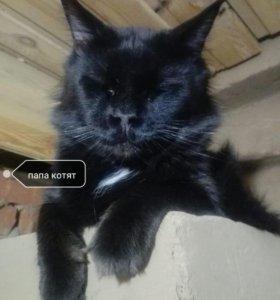 Продаются котята породы Мейн-кун с Родословной.
