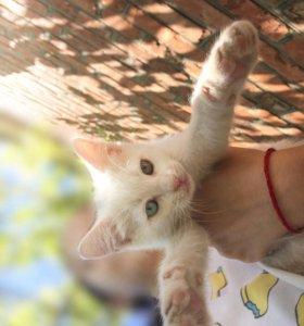 Котята редкой породы као-мани!!!