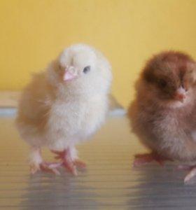 Цыплята брама, фавероль, карликовый кучерявый кох