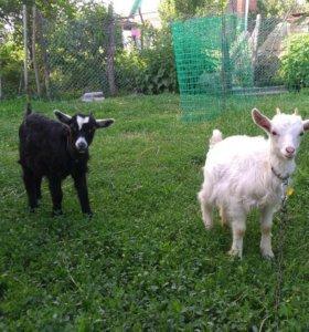 Продаю двух корочек от высокоудойной козы.