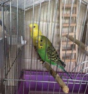 Волнистый попугайчик + клетка