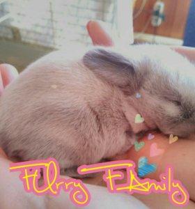 Карликовый кролик -вислоухий баран