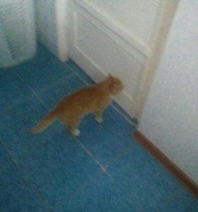 Котёнок вислоухий перемешен с обычным