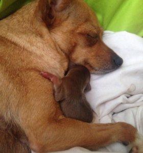 Собачки чихуахуа