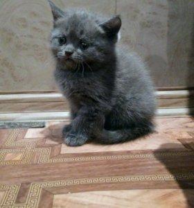 Продается чистокровный британский котенок(девочка)