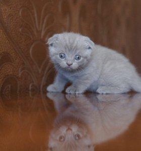 продаётся котёнок шотландской породы