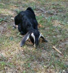 Обменяю козлика на дойную козу