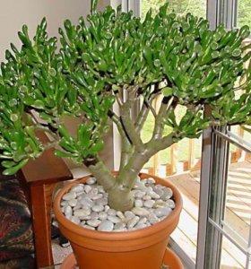 Денежное дерево Толокнянка и Крассула