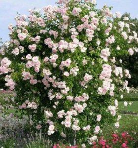 Плетучая роза