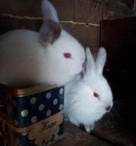 Крольчата калиф