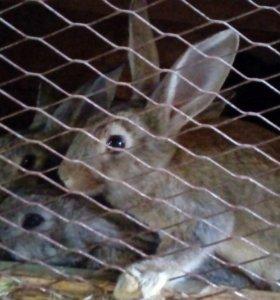 Кролики великаны в Кич Городке
