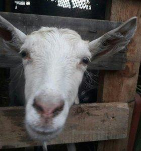 Продам, обмен коза зааненская молодая